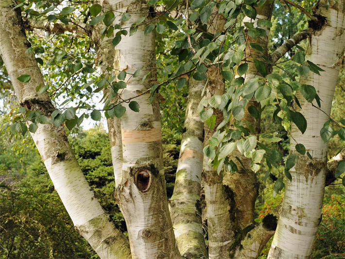 betula-borke-blaetter