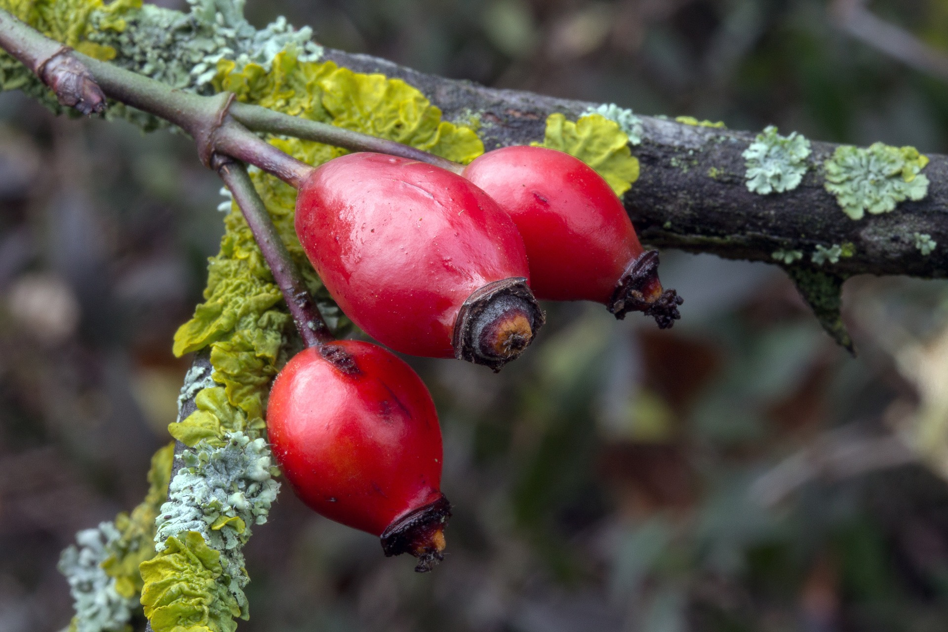 fruit eglantier top pic