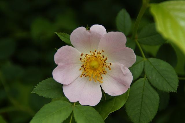 wild-rose-786448_640